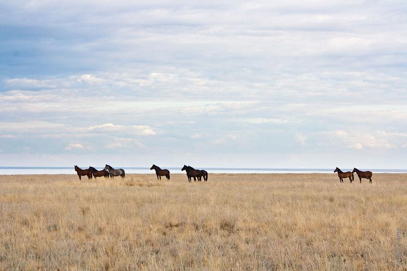Лошади в степи